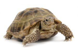 tortoise; shell; desert; reptile; turtle; climate; remote; scale; dry; animal; arid; isolated; endurance; patience; crawling; motion; persistence; laziness; slow; boredom